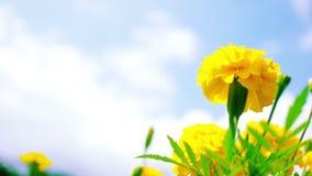 Yellow Marigold stock video