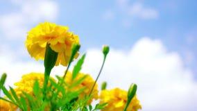 Yellow Marigold Royalty Free Stock Photos