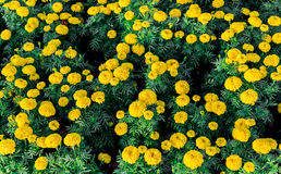 Yellow marigold flowers. In the garden Stock Image