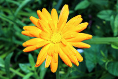 Yellow marigold flowers in the garden in summer stock photo