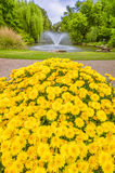 Yellow Marigold Flowers in the Gardens Stock Photos