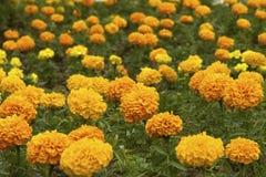 Yellow Marigold Flowers Stock Photography