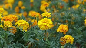 Yellow marigold flowers in green grass stock video footage