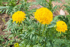 Yellow marigold flowers. Stock Photos