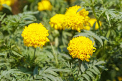 Yellow marigold flowers with leaves in a garden. Stock Photos