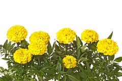Yellow marigold flowers and leaves isolated on white Stock Image