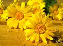 Yellow flowers of calendula. Royalty Free Stock Images