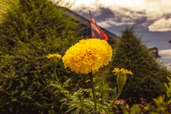 Yellow marigold flowers in lush green garden.  Royalty Free Stock Photo