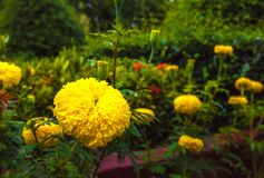Yellow marigold flowers in lush green garden.  Stock Image
