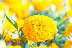 Yellow marigold flowers in the park Royalty Free Stock Photography