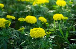 Yellow marigold flowers in garden. Royalty Free Stock Photography