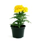 Yellow marigold flowers in pot isolated on white Stock Photo