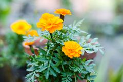 Yellow marigold flowers in sunlight. A Tagetes genus or perennial, mostly herbaceous plants in the sunflower family. Blooms royalty free stock photography