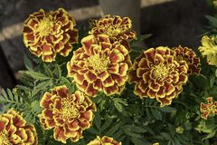 Yellow Marigold flowers or Tagetes erecta in garden on green leaf background stock images