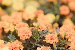 Yellow marigold flowers,Tagetes erecta. Stock Images