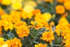 Yellow marigold flowers,Tagetes erecta. Stock Image