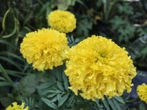 Yellow marigold flowers on the tree stock images