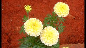 Yellow marigold stock footage