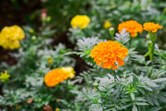 Yellow Marigold follower blossoming in blur background. Scientific name as Tagetes spp Stock Images