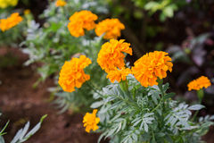 Yellow Marigold follower blossoming in blur background. Scientific name as Tagetes spp Stock Photos