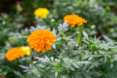 Yellow Marigold follower blossoming in blur background. Scientific name as Tagetes spp Stock Photography