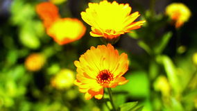 Yellow marigold stock video footage