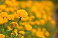 Yellow marigold in the garden. Yellow marigold in the beautiful garden royalty free stock photos