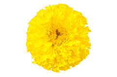 Yellow marigold  isolated Royalty Free Stock Photos