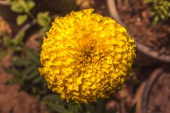Yellow Marigold. Large yellow marigold in pots on a beautiful day Royalty Free Stock Photo