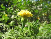 Yellow Marigold stock photo
