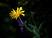 Yellow marigold with sunbeam Stock Photography