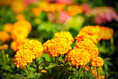 Yellow marigold Stock Photos