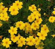 Yellow Marigold Or Tagetes Royalty Free Stock Photography