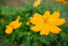 Yellow marigold with yellow pollen Stock Image