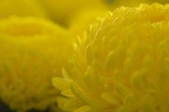 Yellow Marigolds. Two yellow marigold flowers stock image