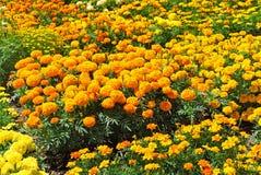 yellow marigolds Stock Photos
