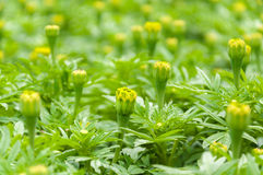 Yellow marigolds flower Stock Image