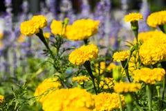 Yellow marigolds flower Royalty Free Stock Photo