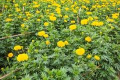 Yellow Marigolds flower Stock Photos
