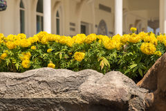 Yellow Marigolds flower Royalty Free Stock Photography
