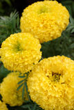 Yellow Marigolds Flowers. In The Garden Stock Image
