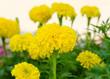 Yellow marigolds flowers in the garden Royalty Free Stock Images