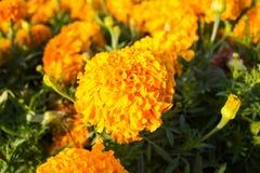 Yellow marigolds Stock Photography