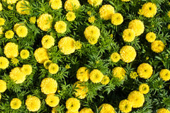 Yellow marigolds Stock Images