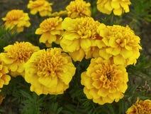 Yellow marigolds in garden Stock Photos