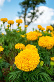 Yellow marigolds in the garden on sky background Stock Photos