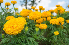 Yellow marigolds in the garden Stock Photo