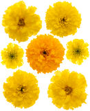 Yellow marigolds isolated Royalty Free Stock Photography