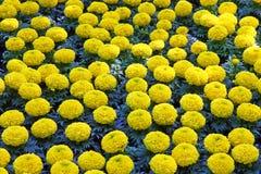 Yellow marigolds Royalty Free Stock Photo