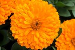 Yellow marigolds at the San Antonio Botanical Garden. Yellow marigolds Calendula officinalis blooming in flowerbeds at San Antonio Botanical Gardens Stock Photo
